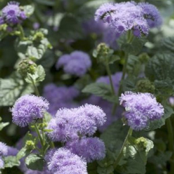 Ageratum Seeds For Sale Annual Flower Seeds Annual Flowers Plants Flower Seeds