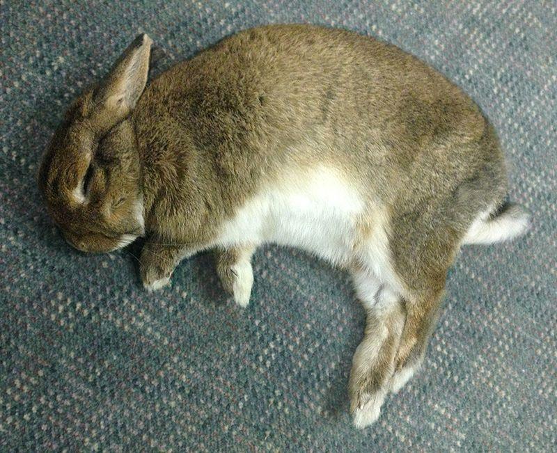 die besten 25 haus kaninchen gesellschaft ideen auf pinterest haustier h schen hasenpflege. Black Bedroom Furniture Sets. Home Design Ideas