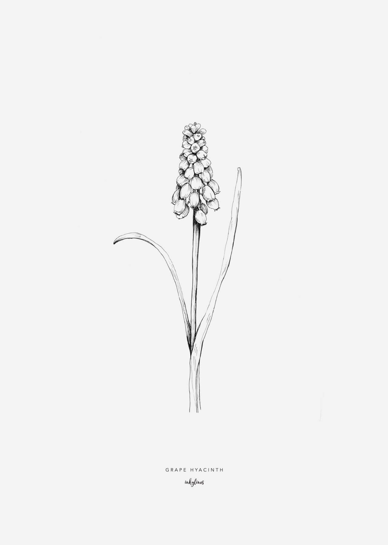 01eef2155 inkylines - Flowers - Grape hyacinth Botanical Tattoo, Botanical Drawings,  Botanical Illustration, Botanical