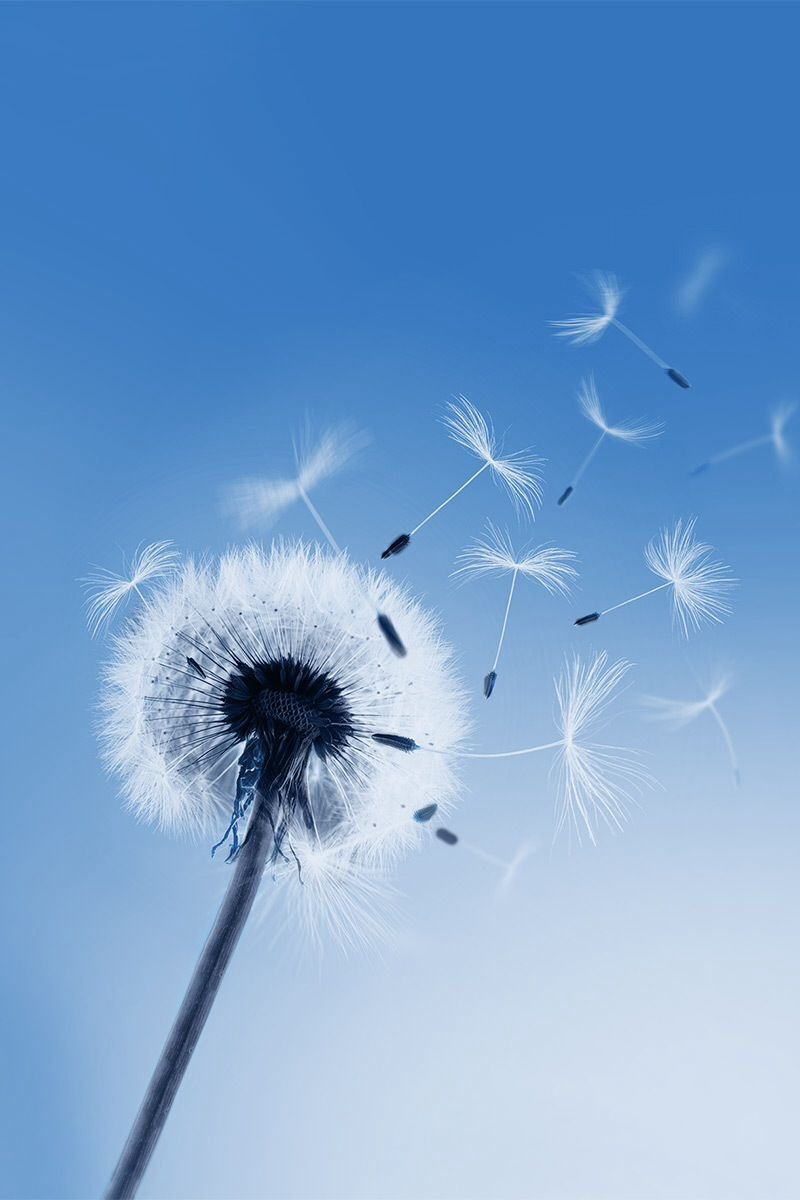 Tap And Get The Free App Nature Sky Dandelion Flowers Blue Hd