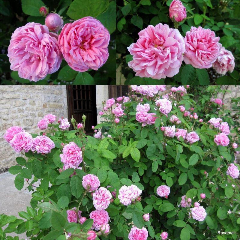 rose ancienne 39 salet 39 our roses pinterest rose clematis and gardens. Black Bedroom Furniture Sets. Home Design Ideas