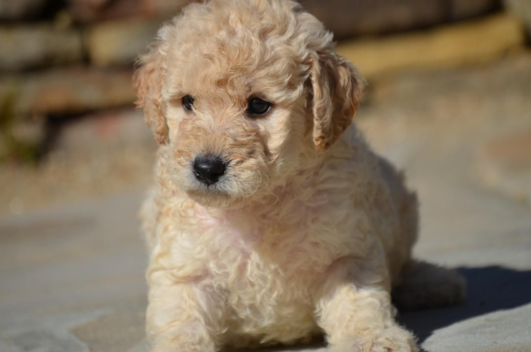 Aussiedoodle Puppies For Sale California Ideas