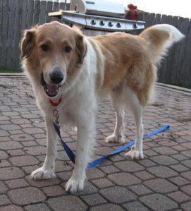Sable White Great Pyrenees Mix Dogs Animals