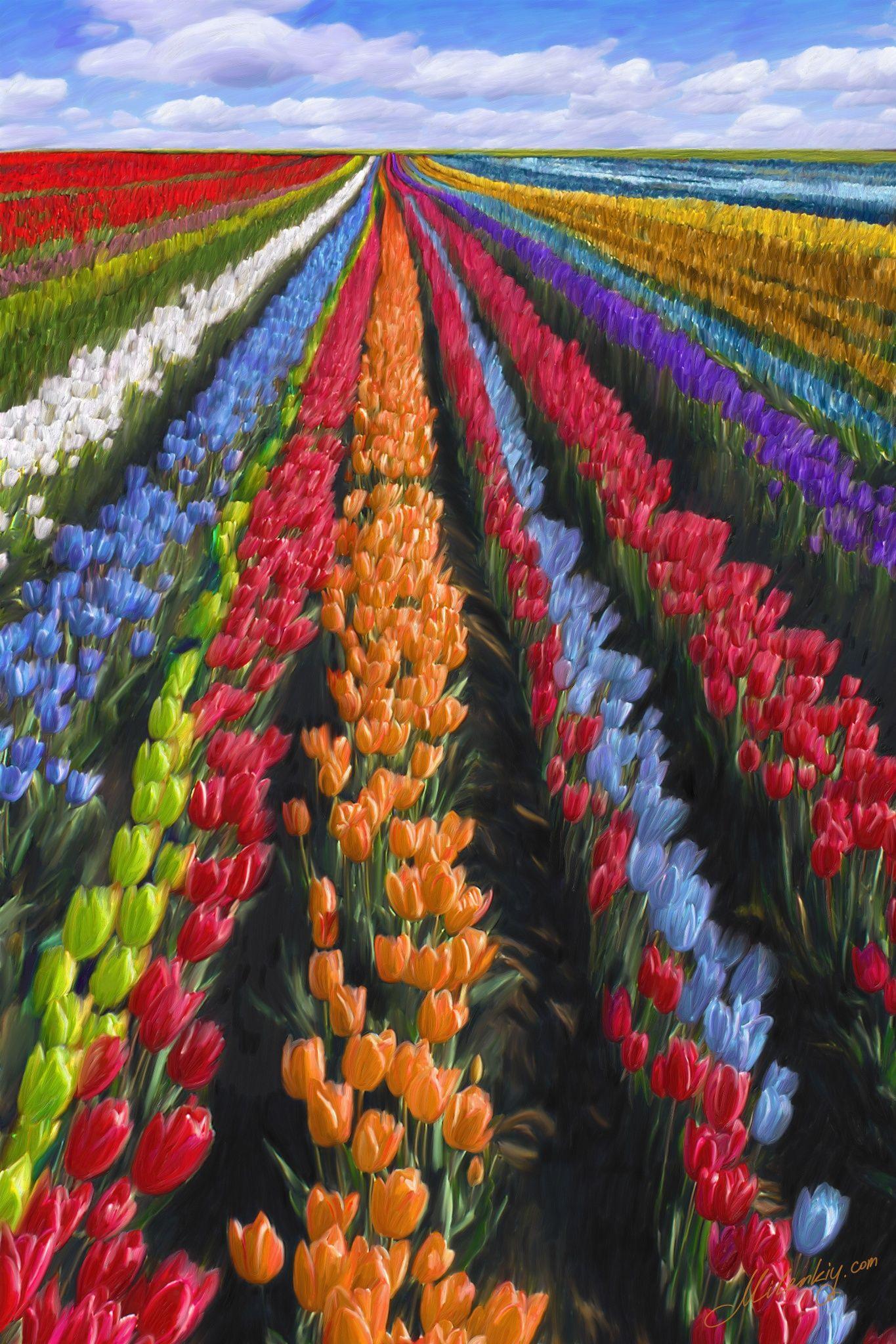 campo de tulipanes en Holanda  holanda