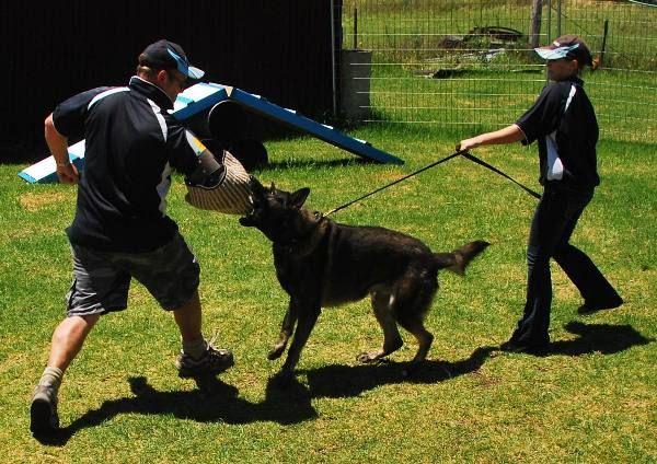 German Shepherd Dog Security Training Attack Dog Training
