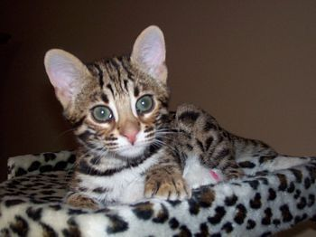 Pin On Bengals