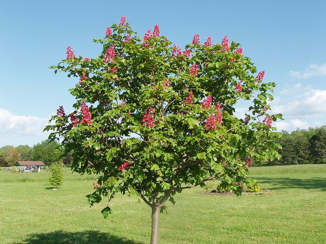 red flowering chestnut tree Google Search yard Pinterest