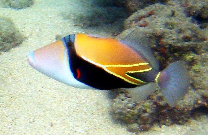 Reef Or Rectangular Or Wedge Tail Triggerfish Also Known By Its Hawaiian Name Humuhumunukunukuapuaʻa Rhinecanthus Rectan In 2020 Fish Salt Water Fish Beautiful Fish