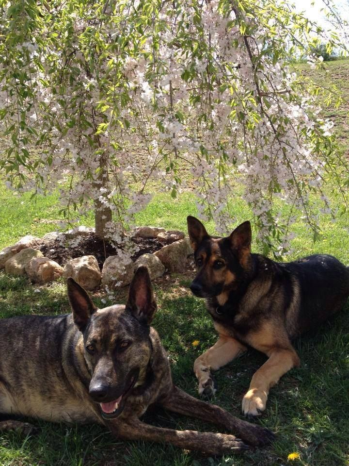 K9 Kota Of The Winchester Va Police Dept And His Sister Sable