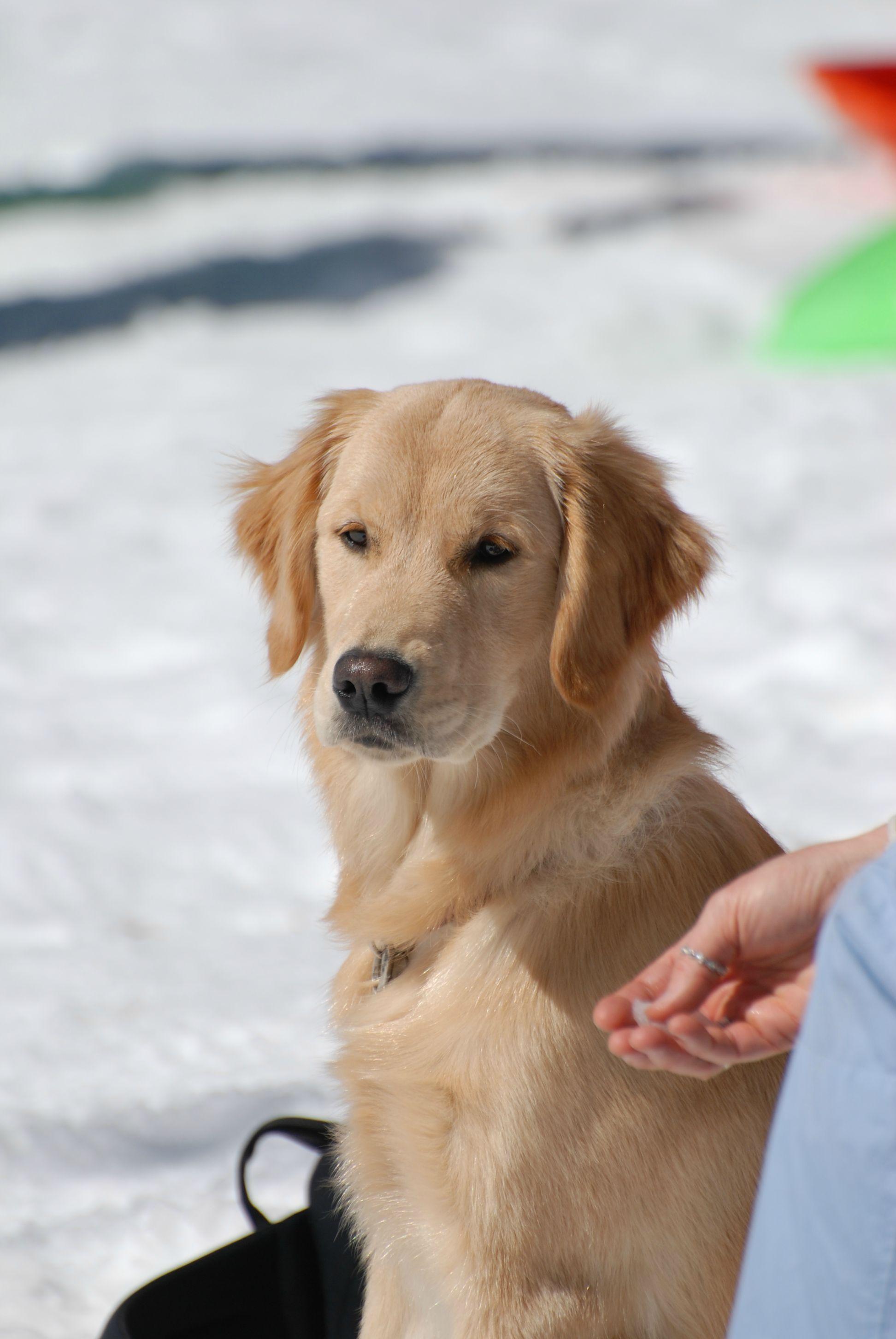 Loyal Snow Golden Dogs Golden Retriever Golden Labrador Puppies