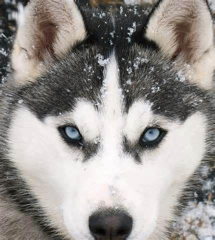 Siberian Husky Wallpaper Siberian Husky Dog