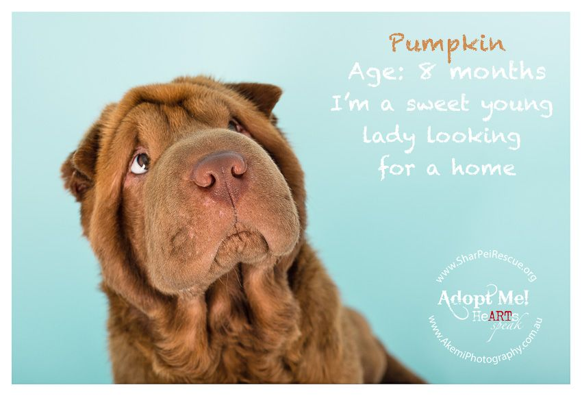 All About Shar Pei Rescue Dog Photography Wrinkly Dog Shar Pei Puppies Fluffy Puppies