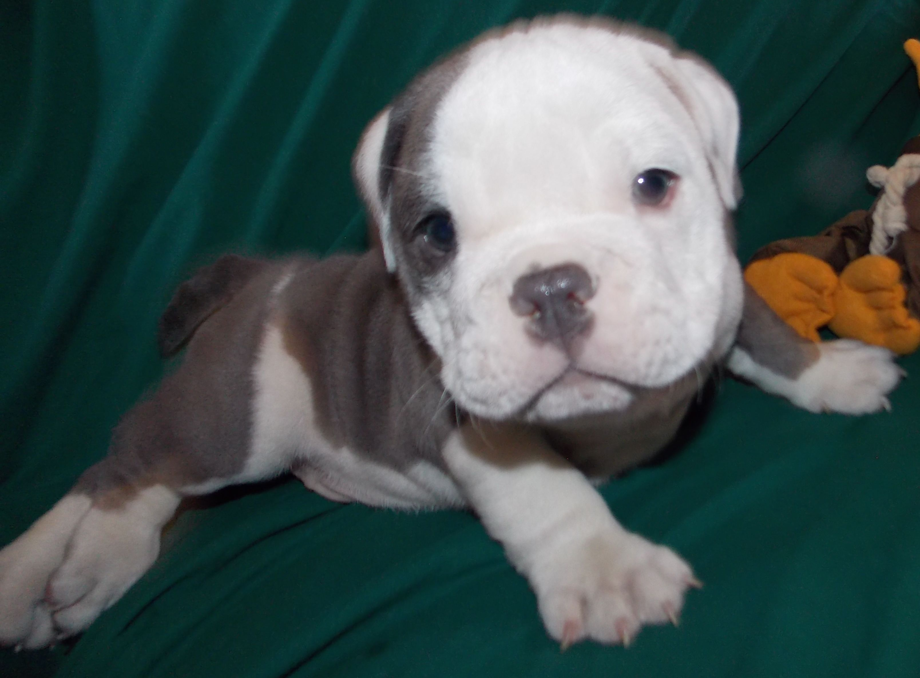 Steele is a blue English Bulldog Puppy selling for 6500