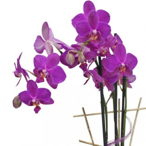 Planta de orquídeas con una larga duración de las flores de hasta ...