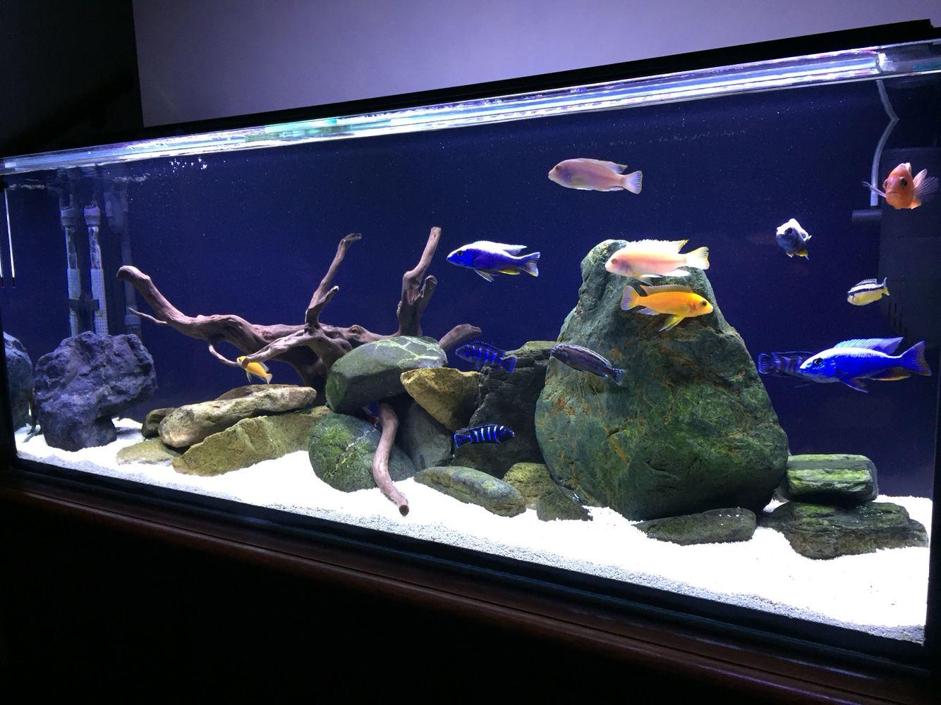 Addition of a black background aquarium black for Cichlid fish tank