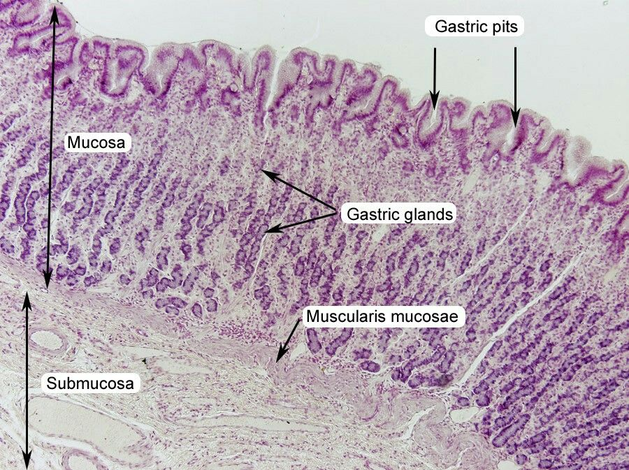 Stomach Histology Showing Gastric Pits Histology Pinterest