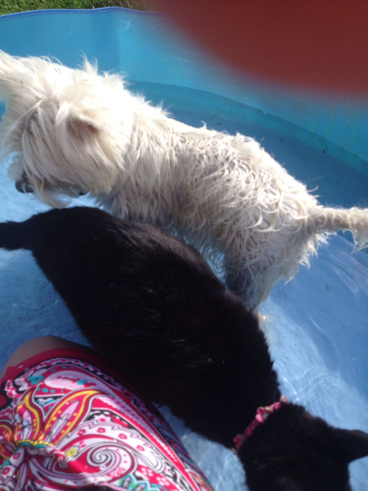 Paddling pool time !!!! White dogs, Westies, West