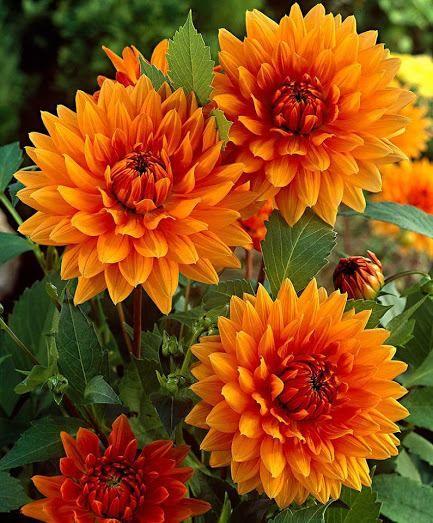 Георгины | Красивые цветы, Фотографии цветов и Георгины
