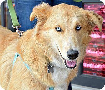 Memphis Tn Golden Retriever Husky Mix Meet Sophie Blue A Dog