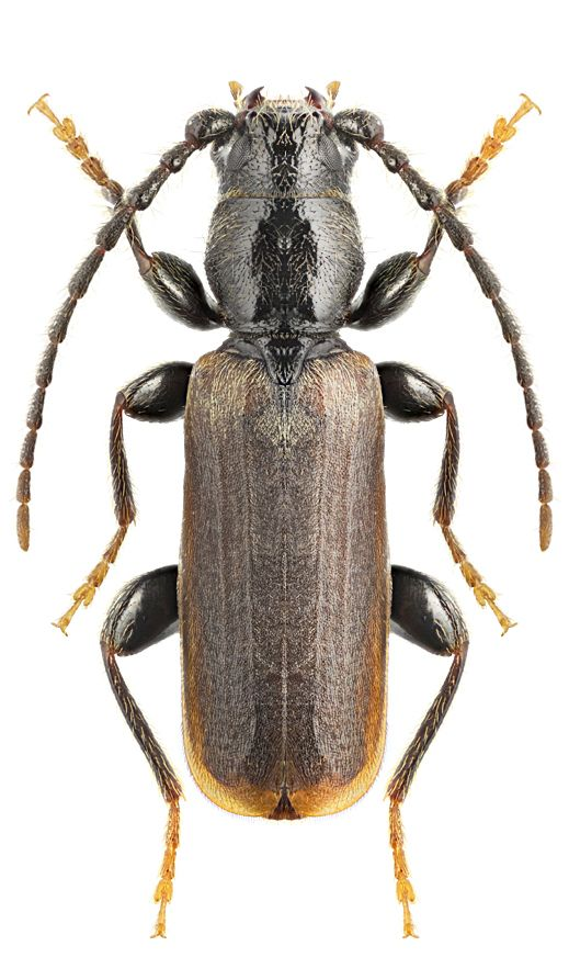 Tetropium Castaneum Con Imagenes Cerambycidae Coleopteros