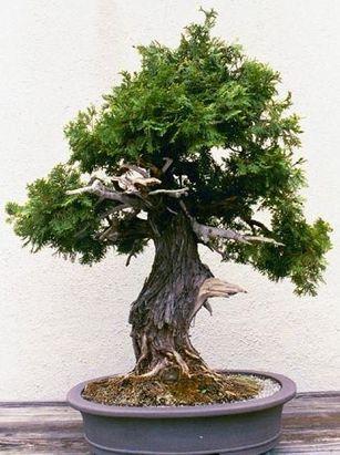 Thuja bonsai Bon Sae I Pinterest Bonsaï, Bonzaï et Plantes - petit jardin japonais interieur