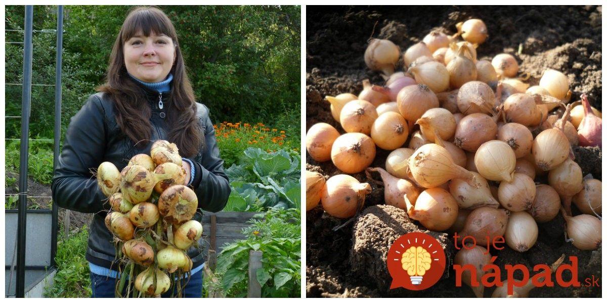 5a80bd2e2 Bojíte sa jesennej výsadby cibule? Nemusíte, je to jednoduché a ak sa  budete držať niekoľkých zásad, dočkáte sa na jar veľkej a chutnej úrody.