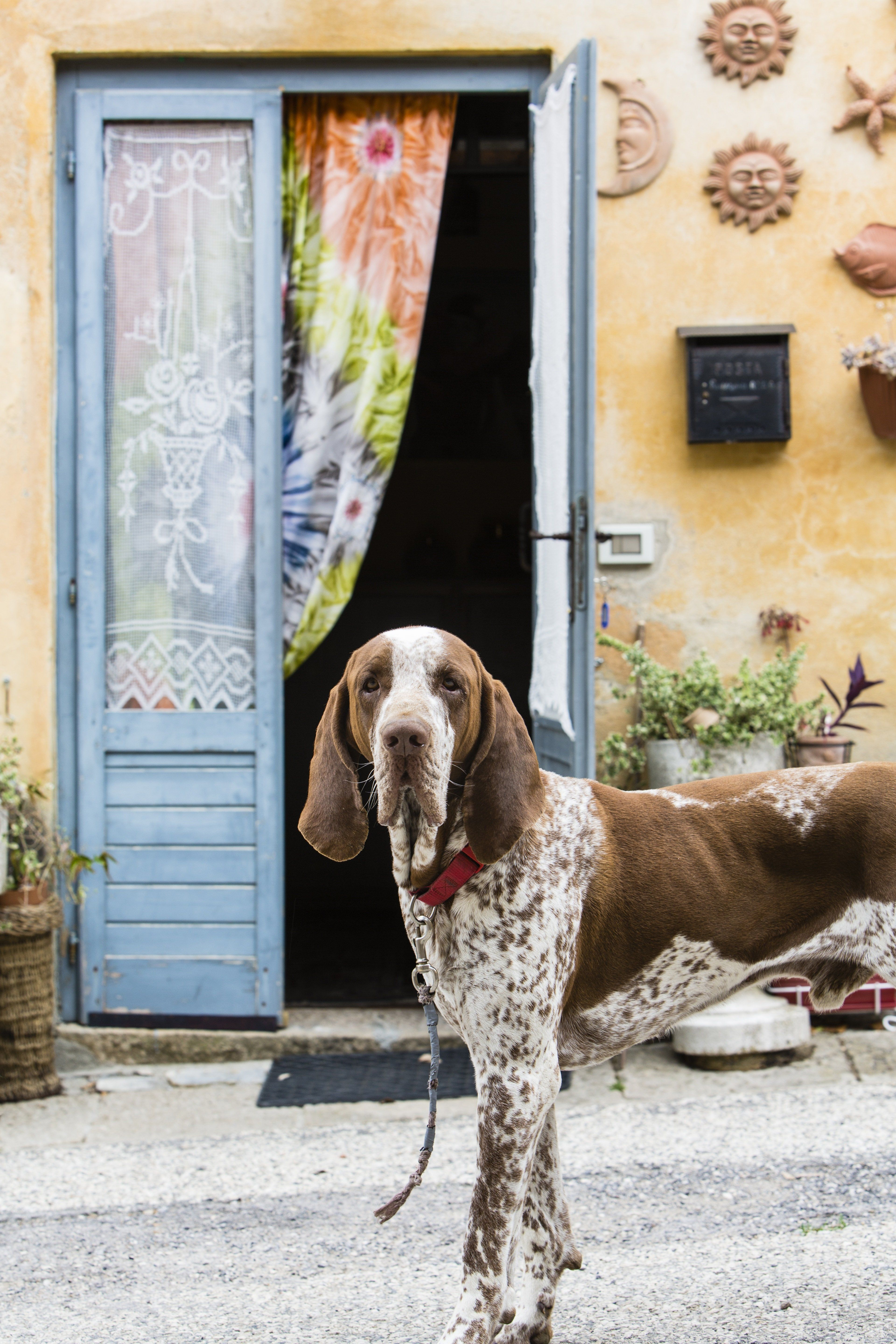 Bracco Italiano Dog Breed Information Pictures Characteristics Facts Dogtime Horses And Dogs Dog Breeds Dog Mixes