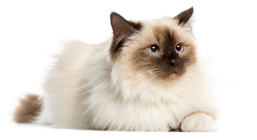 Top 10 Most Beautiful Cat Breeds List Top Tens Katzen Rassen Beliebte Katzenrassen Katzenrassen