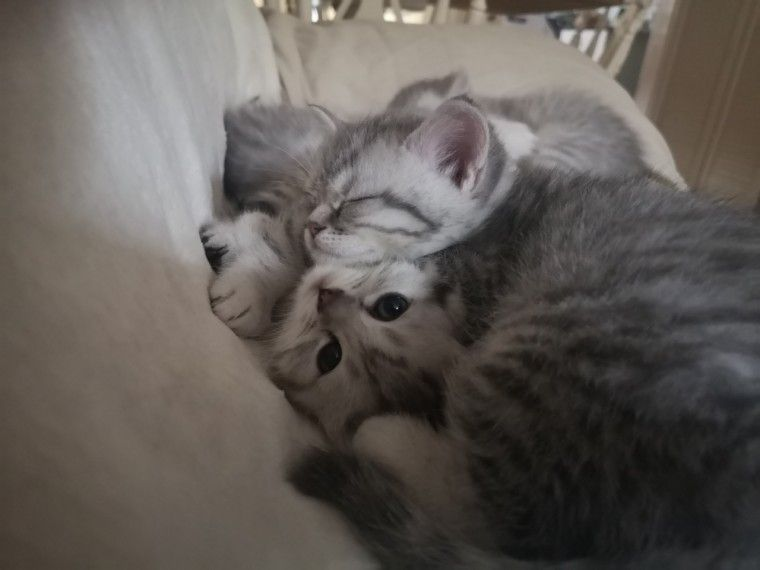 Bsh Silver Tabby Kittens For Sale Silver Tabby Kitten Tabby Kittens For Sale Kitten For Sale