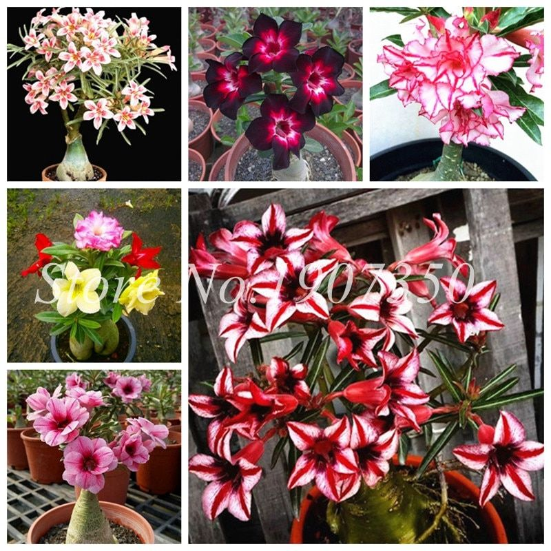 Real 15 Different Color Varieties Of Desert Rose Flower Bonsai Indoor Potted Plants Adenium Obesum Bonsai Garden Courtyard 1 Adenium Bonsai Garden Flower Pots