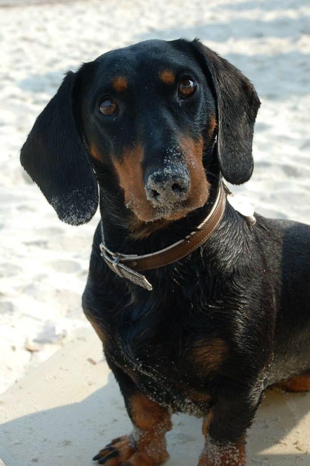 Pin Von Last Pinepple Auf Pawshake Osterreich Hunde Dackel Dackelwelpen Haustiere