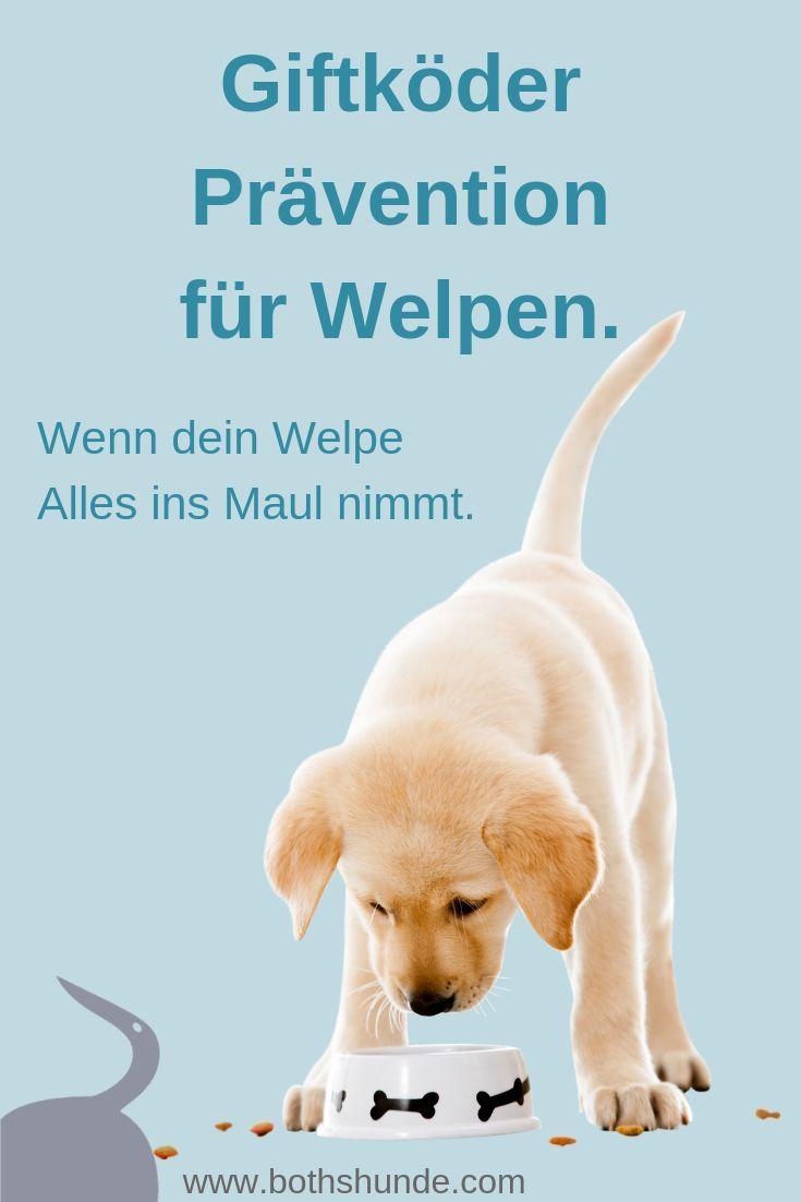 Anti Giftkoder Training Fur Welpen Was Tun Wenn Der Welpe Alles Ins Maul Nimmt Welpen Hundetraining Hundchen Training