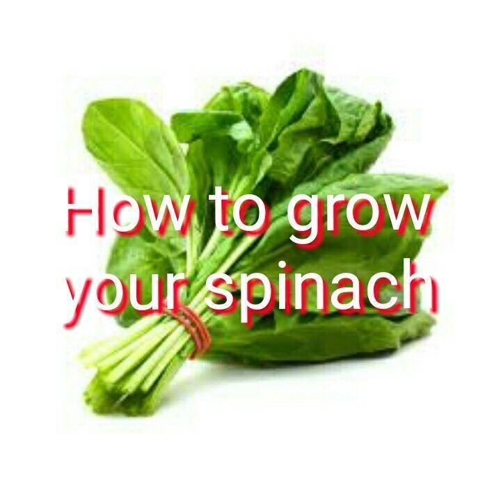 Urban Vegetable Gardening For Beginners: Gardening For Beginners. Growing Spinach. Gardening Tips