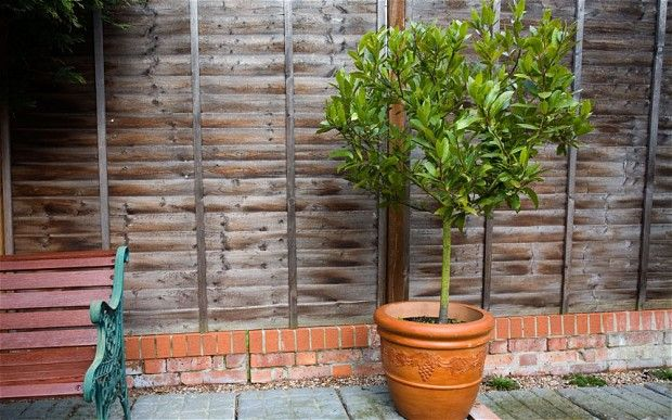 Bay Trees And Pot Plants The Latest Household Target For Thieves Fruit Trees In Containers Fruit Trees Plants