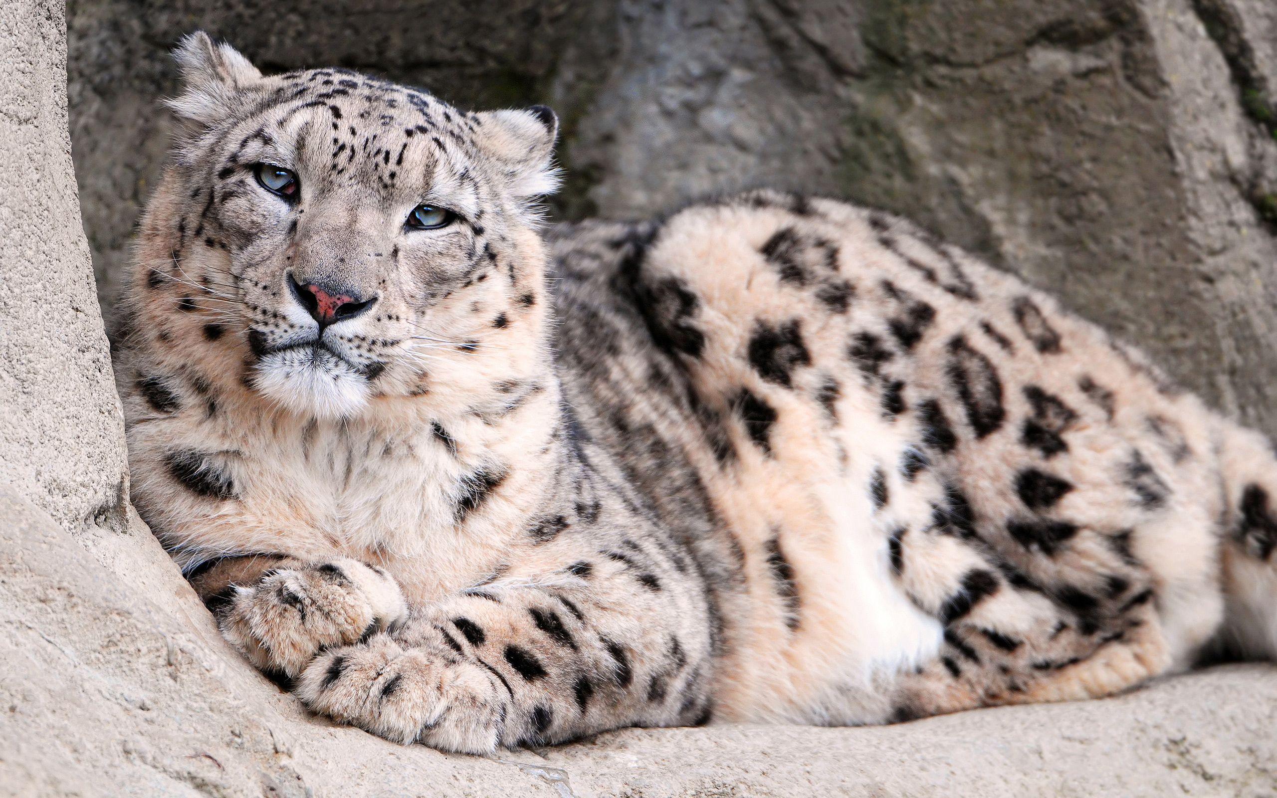 snow leopard - google search | ♥ stuff my sister likes