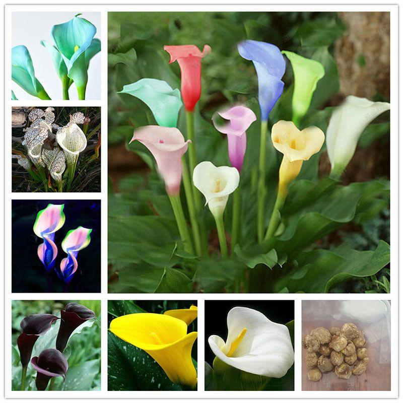 2pcs Beautiful Calla Lily Root Lilies Perennial Garden Summer Flower Bulb Supply Price 2 32 Under 50 Bulbs Plants Sponsored