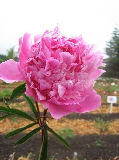 Peonies DINNER PLATE Peony Farm WA plants for sale  sc 1 st  Pinterest : dinner plate peony - pezcame.com