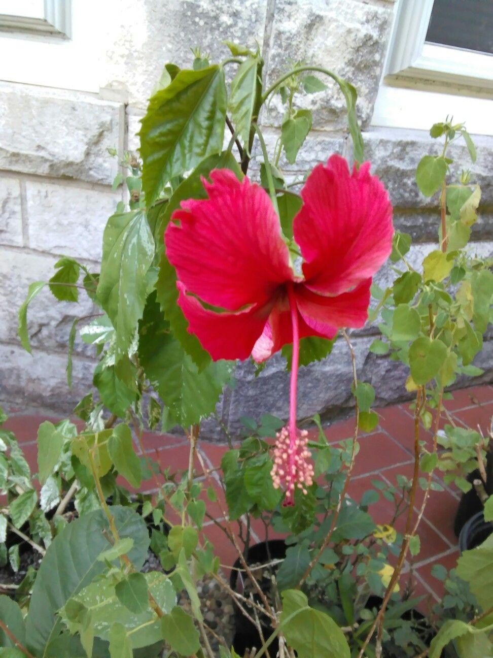 Red Hibiscus San Antonio Texas By Tom Willett Flowers