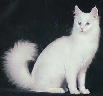 Turkish Angora Angora Cats Turkish Angora Cat Cat Breeds