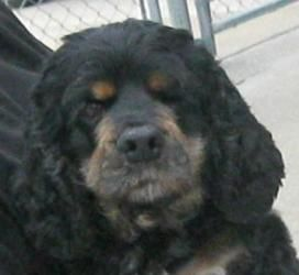 Holly 11622 Is An Adoptable Cocker Spaniel Dog In Cedar Rapids Ia
