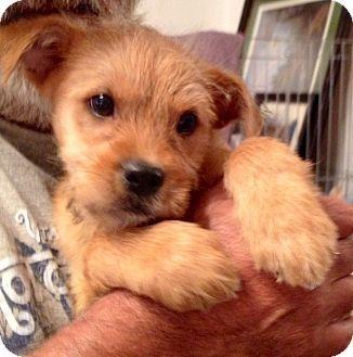 Dd 250 Grifficairn Puppy Designer Dogs Cairn Terrier Mix