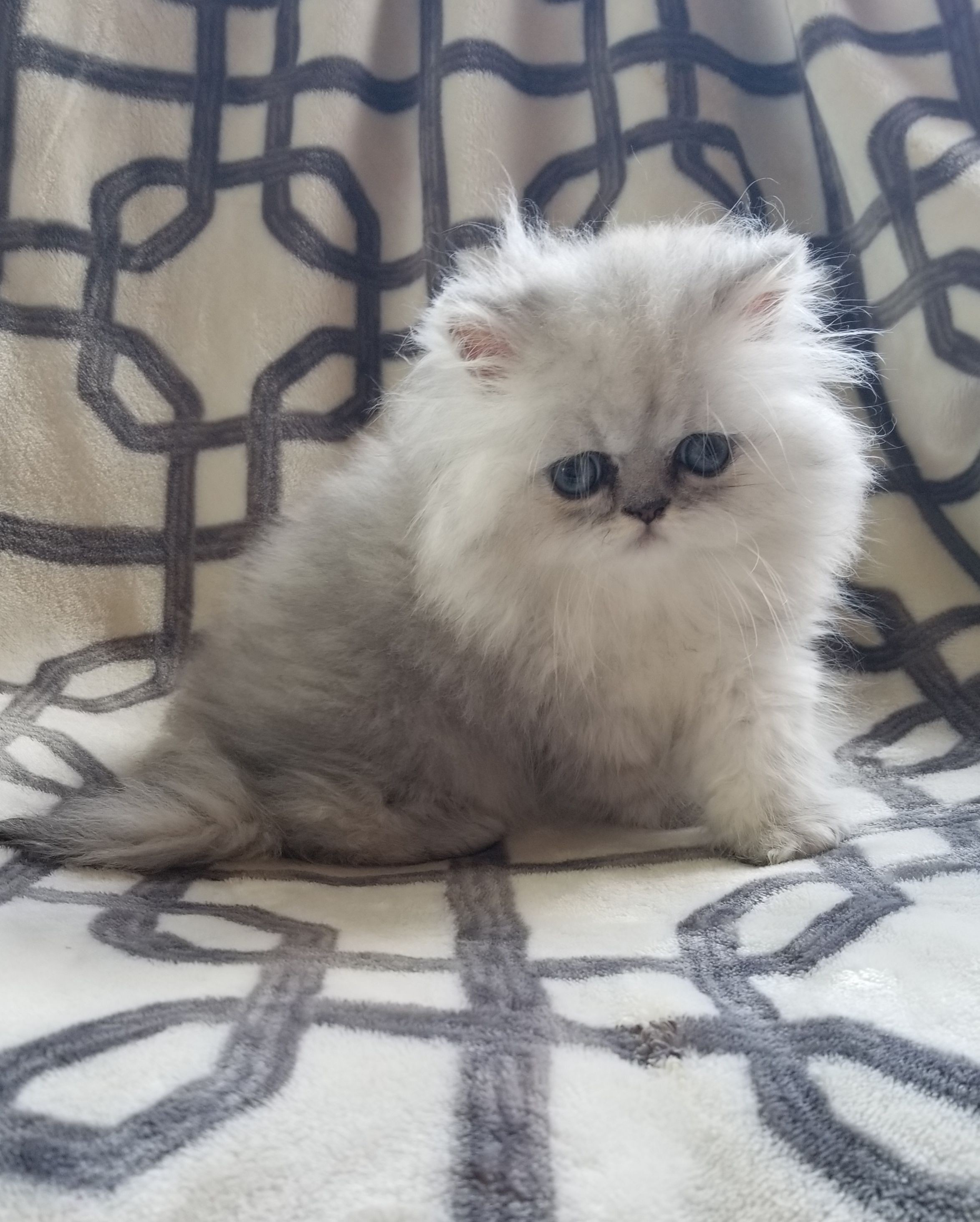 Persian Cats For Sale Houston, TX catcrafts Persian