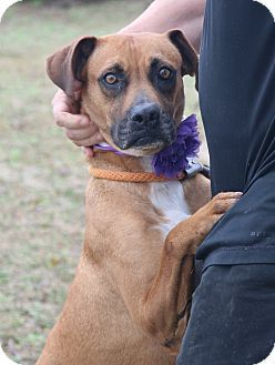 1/6/17***Pictures of Meadow a Boxer Mix for adoption in