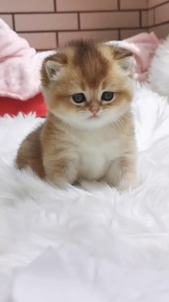 Cute Cat Video In 2020 Kittens Cutest Cute Kitten Gif Pretty Cats