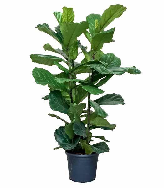 Mooie grote kamerplanten chicplants plant pinterest for Grote kamerplanten