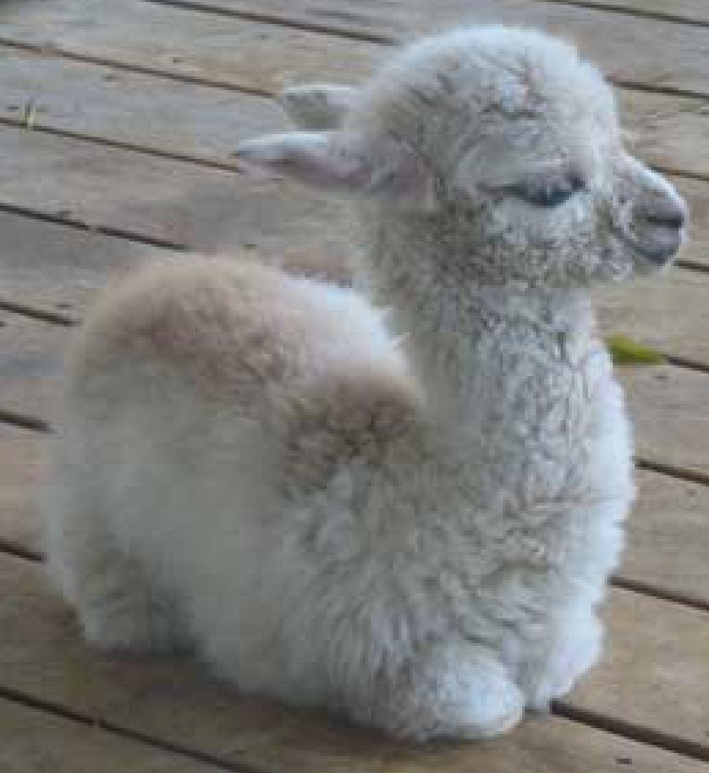 Best 25+ Baby Llama Ideas On Pinterest