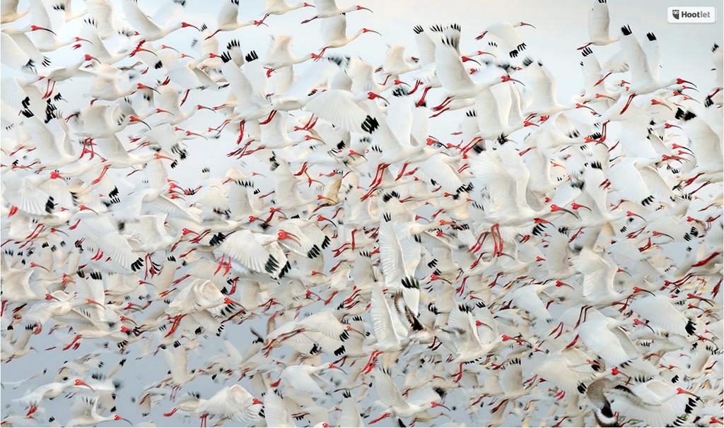 Impresionante bandada de ibis blancos americanos. Foto de James Shadle.