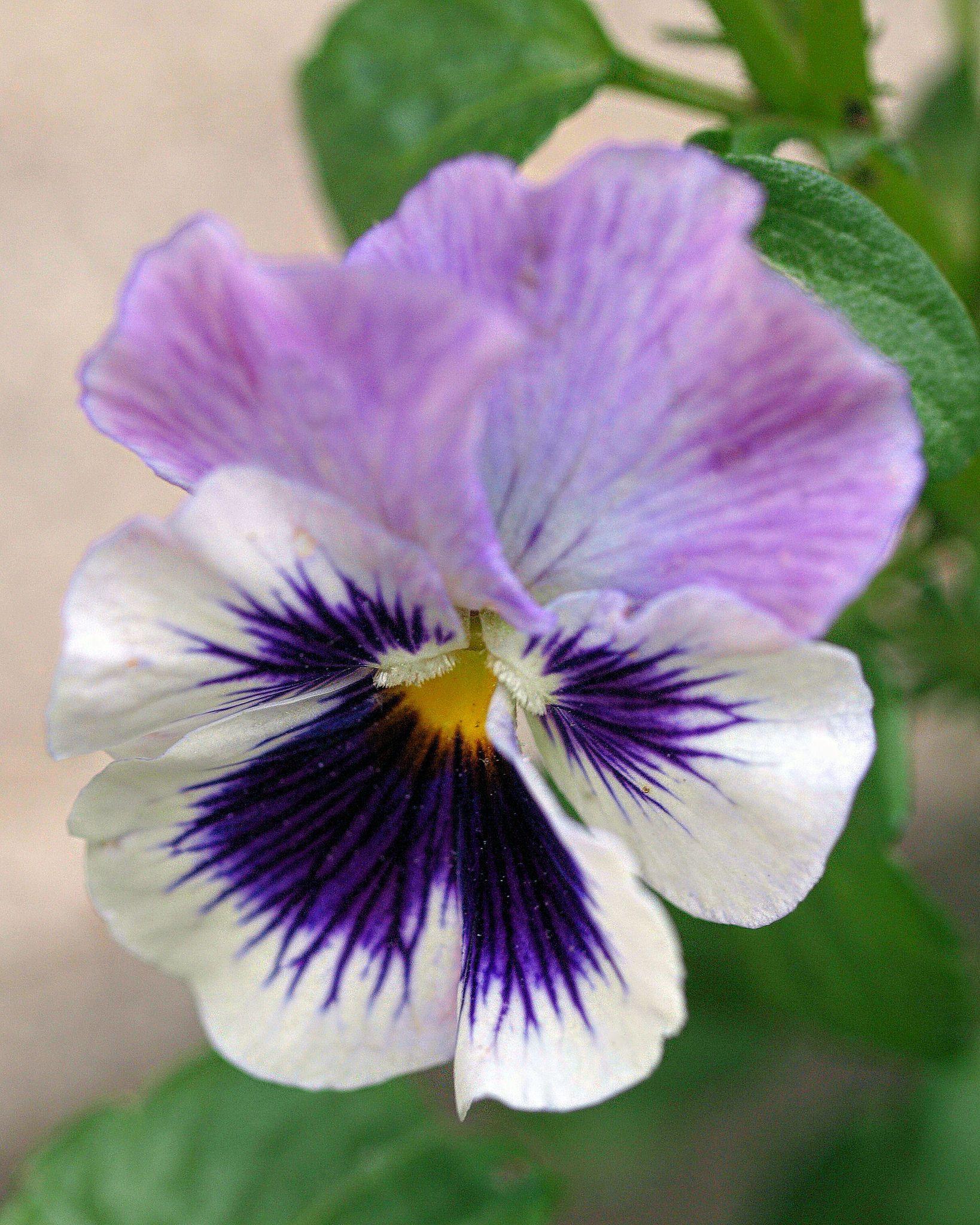 Purple Pansy Pansies Flowers Purple Flowers Pansies