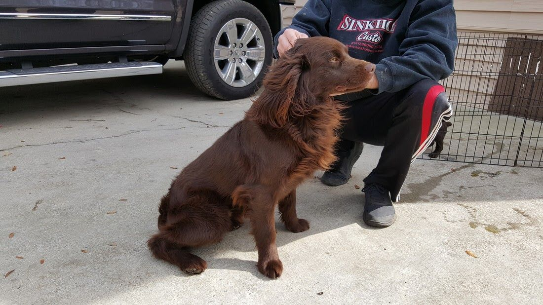 Home Boykin Spaniel Puppy For Sale In Tifton Ga Adn 25500 On