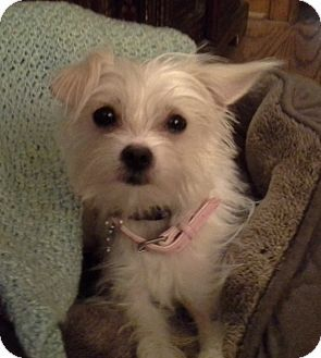 New Jersey, NJ Maltese/Terrier (Unknown Type, Small) Mix